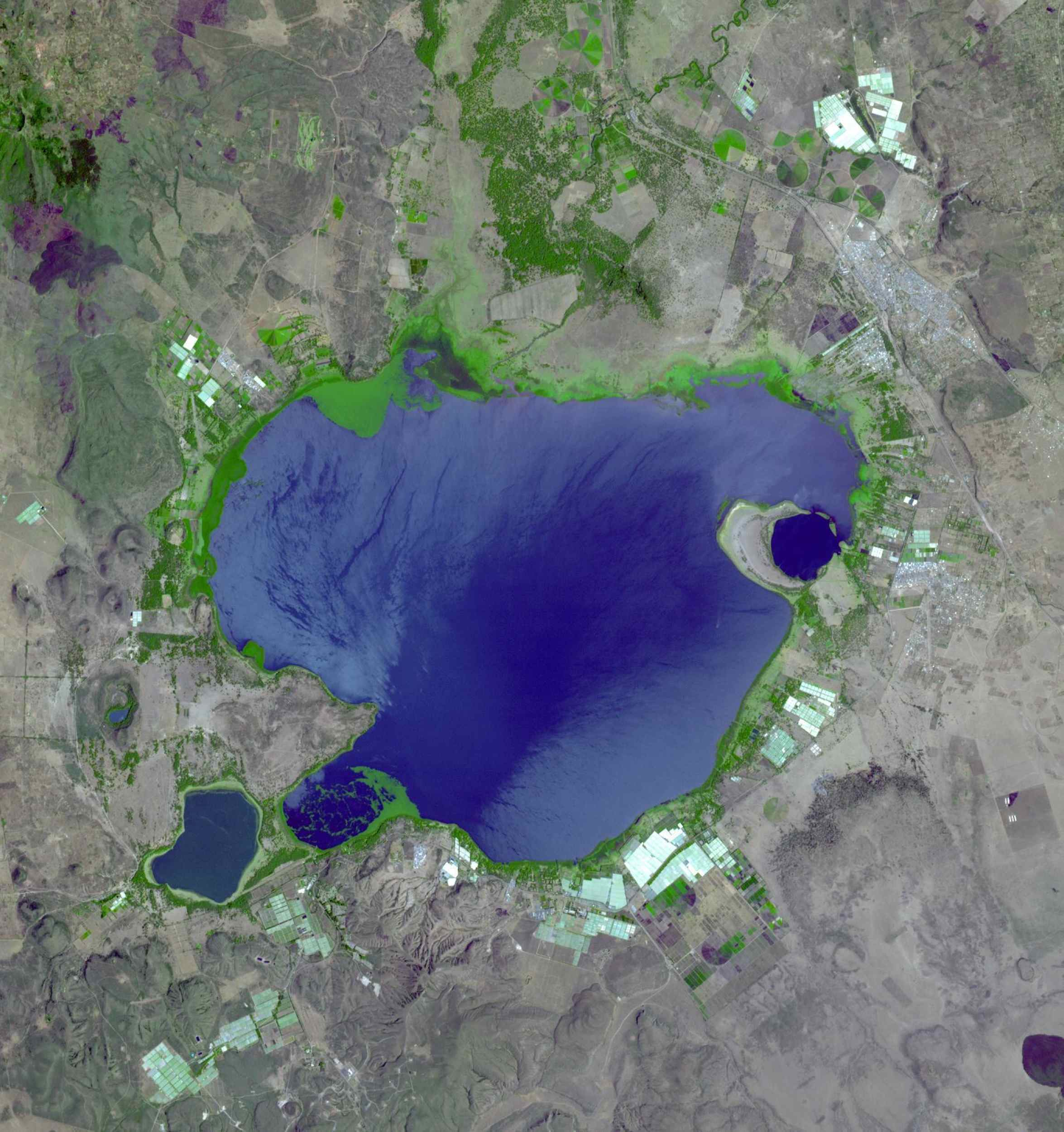 If you live in Europe and buy roses, the chance is good that they were grown in Kenya -- specifically, in one of the colossal greenhouses that blot out the once wild shores of Lake Naivasha, 90km north-west of Nairobi. Image from NASA's Terra satellite.