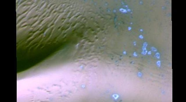 This false-color image from NASA's Mars Odyssey contains dunes on Mars, and small areas of blue which may represent fresh (non-dust covered) frost or ice. Ice/frost will appear as bright blue in color; dust mantled ice will appear in tones of red/orange.