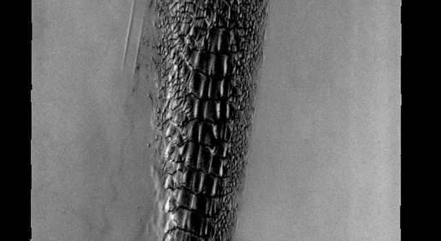 This image is from NASA's 2001 Mars Odyssey. THEMIS ART IMAGE #73 These north polar dunes on Mars look odd -- like a plant, or fossil, or some alien creature.