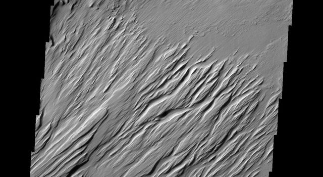 Located near Amazonis Mensa, this region of Mars has undergone erosion by wind. Long linear hills being created by the wind are called yardangs in this image from NASA's 2001 Mars Odyssey.