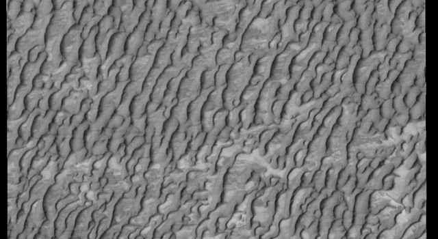 This image captured by NASA's 2001 Mars Odyssey spacecraft shows a small portion of Olympia Undae, a huge dune field that surrounds part of the north polar cap. This image was taken during summer and there is no frost on the dune forms.
